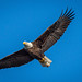 American Bald Eagle Wings Wide Open