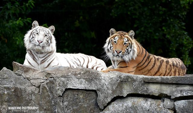 Bengal tigers - Pakawipark