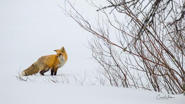 Fox 5072 YNP