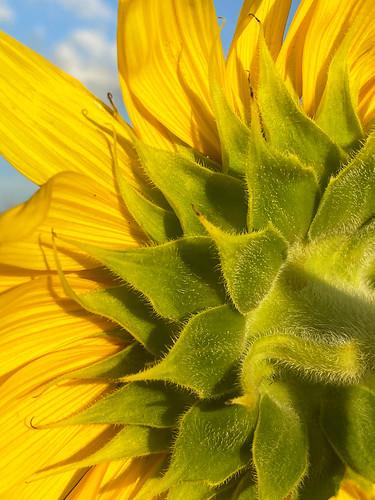 bluesky connersamazingacres blue yellowflower sunflowerphoto flowerphotography goldenlight sunflowers gorgeoussunflower prettysunflower yellowandgreen green sunflower yellow flowerphoto iphonephotography iphonephotographer mobilephotography
