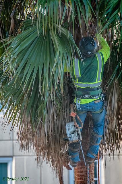 Trimming a Palmetto Palm (Sabal palmetto), #2