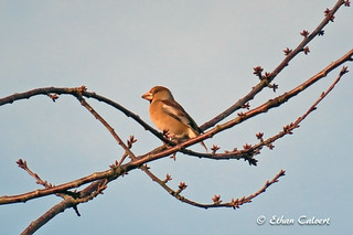 Hawfinch | by Ethan Calvert
