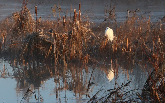 Egret on the River Exe