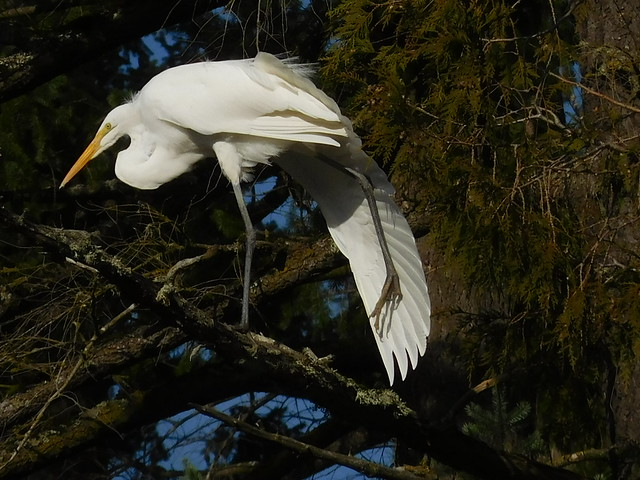 Great Egret by Nina
