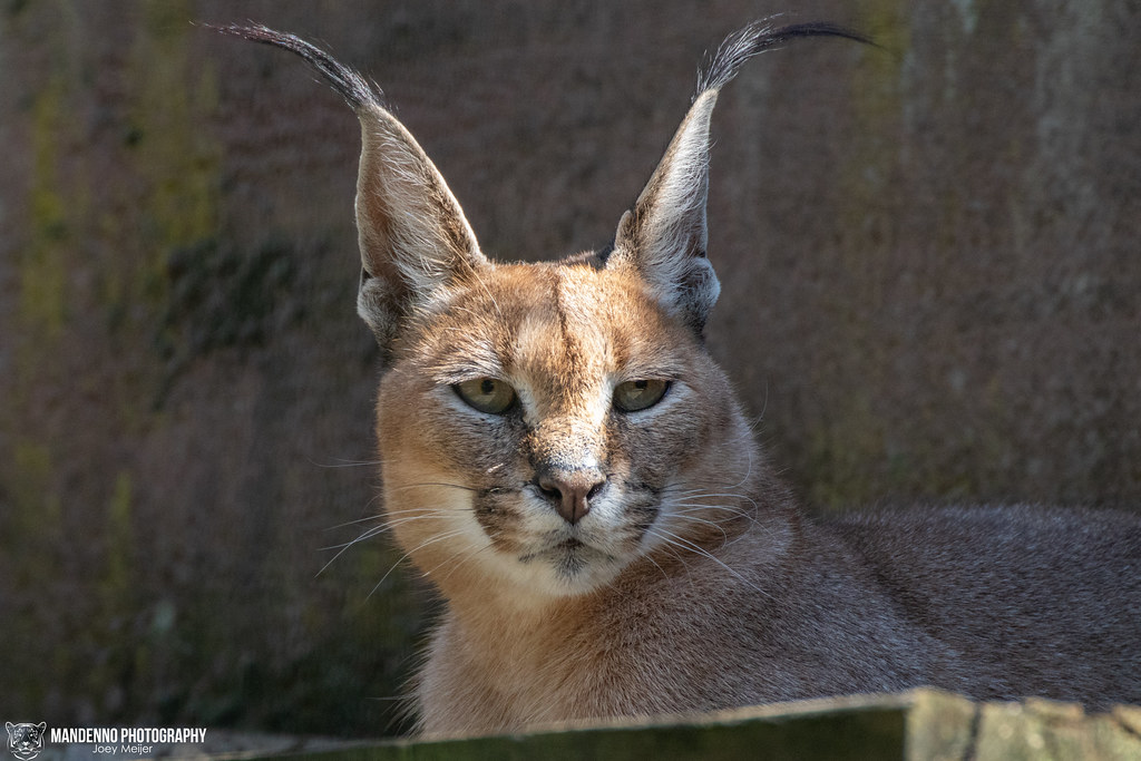 Caracal - Olmense Zoo - Belgium
