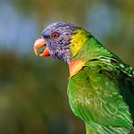 Profile of a Rainbow Lorikeet