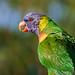Image: Profile of a Rainbow Lorikeet