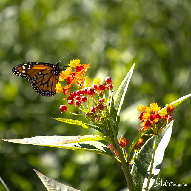 mariposa tecknicolor
