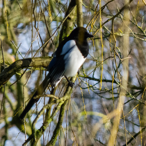 Fine feathered magpie, West Park