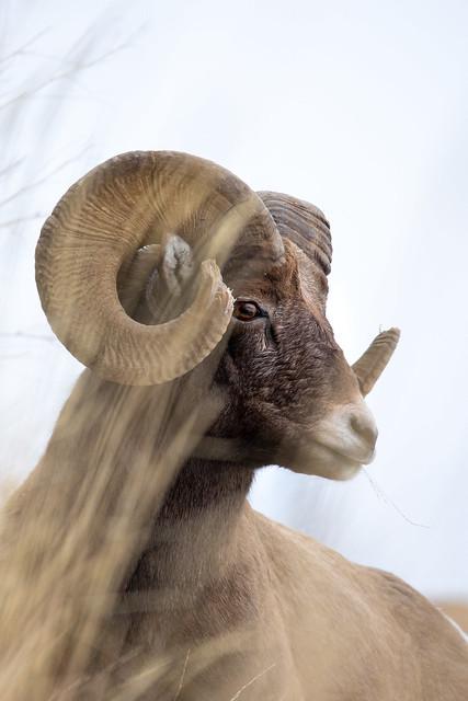 Bighorn Ram in Yellowstone NP