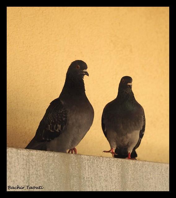2- Birds (Rock dove - Feral pigeon)