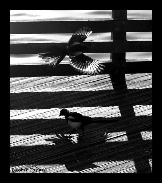 1- Birds (Magpies)
