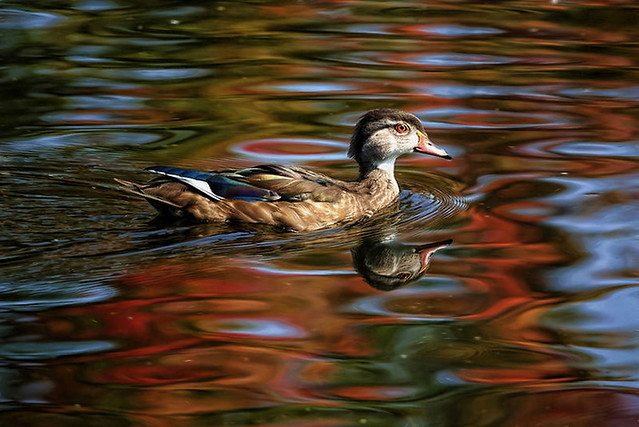 Swimming Through Autumn Reflections
