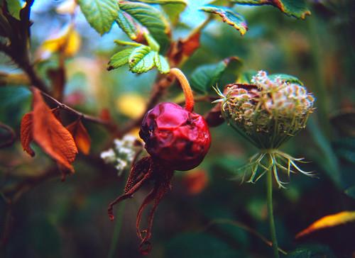 Rose Hip (2)
