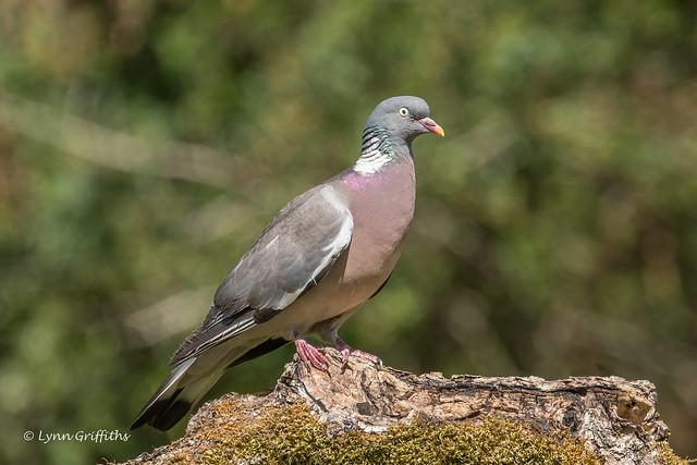Wood Pigeon - Posing nicely 502_7944.jpg