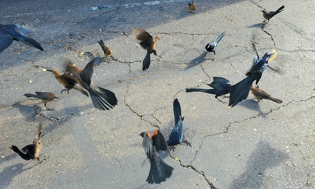 Grackle Mayhem