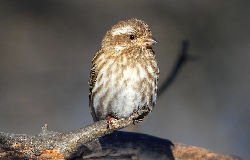purple finch female at Lake Meyer Park IA 653A9493