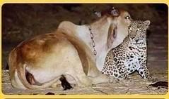La tenera storia della mucca e dal leopardo