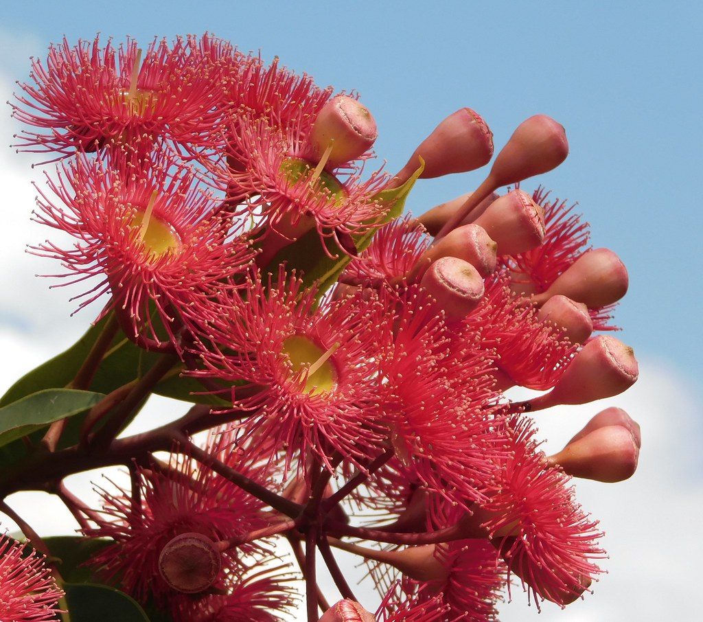 Tree in Flower - Eucalyptus