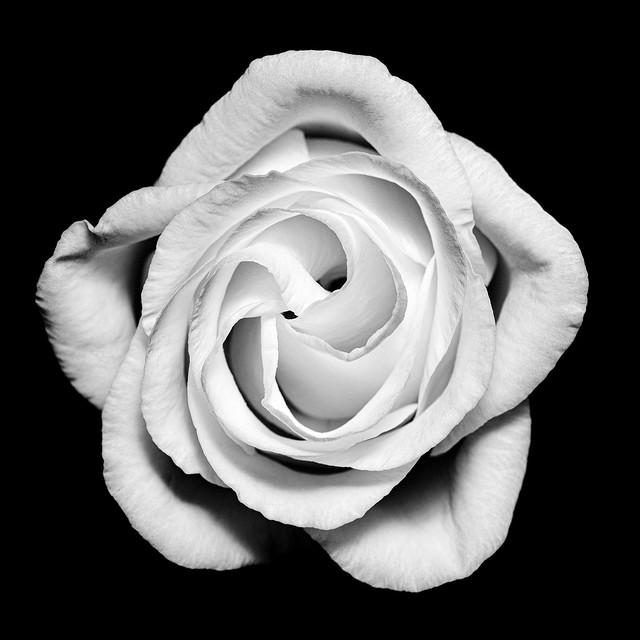 B&W Macro Portrait of a Flower