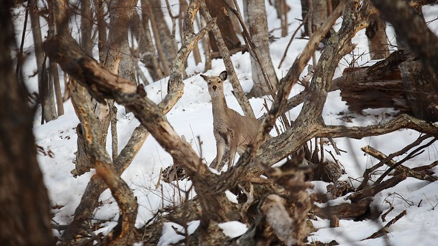 Wild Yezo sika deer.