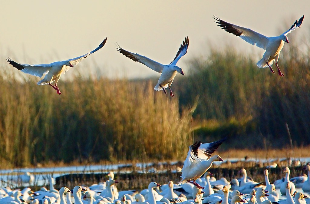 In-bound Snow Geese