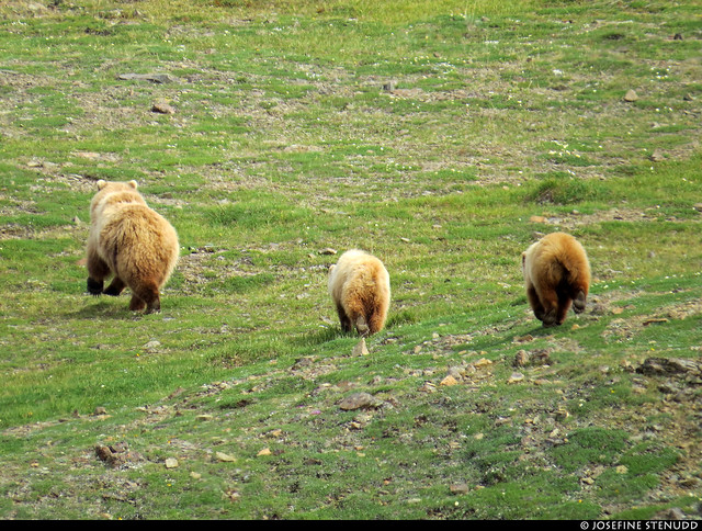 20180704_48 Family of grizzly bears (Ursus arctos horribilis) by the Eielson Alpine Trail   Eielson Visitor Center in Denali National Park & Preserve, Alaska