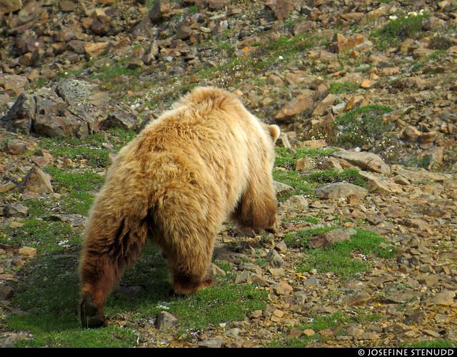 20180704_46 Mother grizzly bear (Ursus arctos horribilis) by the Eielson Alpine Trail | Eielson Visitor Center in Denali National Park & Preserve, Alaska