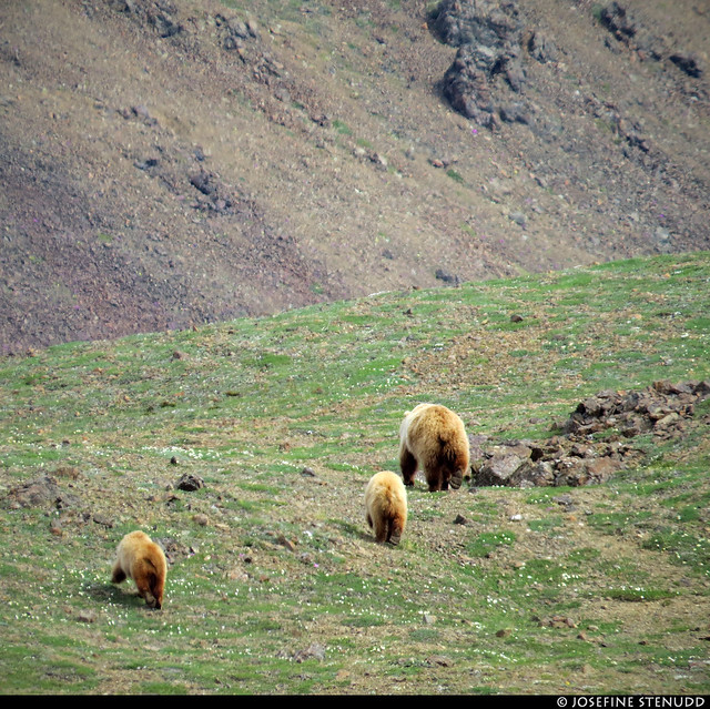 20180704_49 Family of grizzly bears (Ursus arctos horribilis) by the Eielson Alpine Trail | Eielson Visitor Center in Denali National Park & Preserve, Alaska