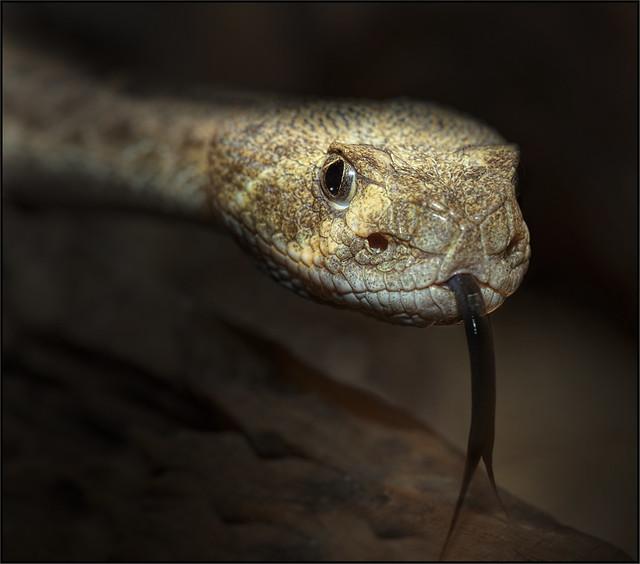 Texas Rattlesnake (Crotalus atrox)