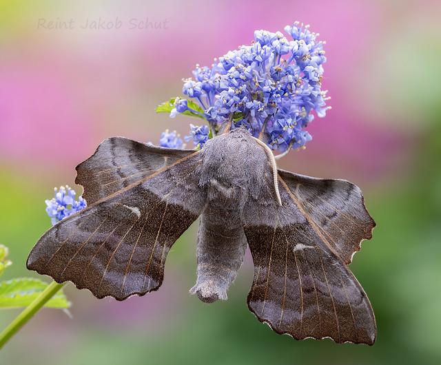 Populierpijlstaart - Poplar Hawk-moth - Laothoe populi