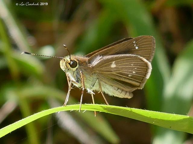 Cobalopsis vorgia