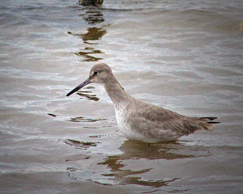 2021.01.09 Shired Island Trail Willet 2