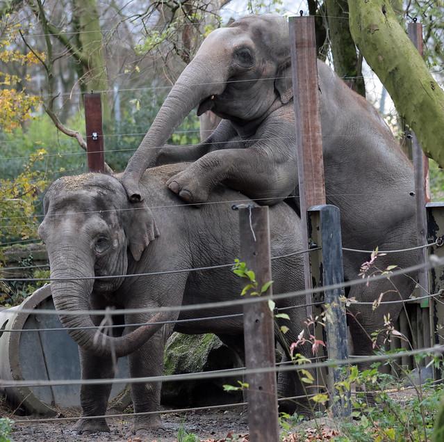 asiatic elephant Fahim Blijdorp 9K2A3916