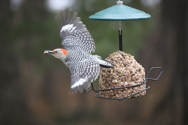 Red-bellied Woodpecker at my Bird Feeders (Ypsilanti, Michigan) - 22/2021 225/P365Year13 4608/P365all-time (January 22, 2021)