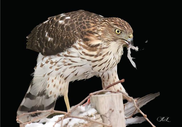 Juvenile Cooper's Hawk!