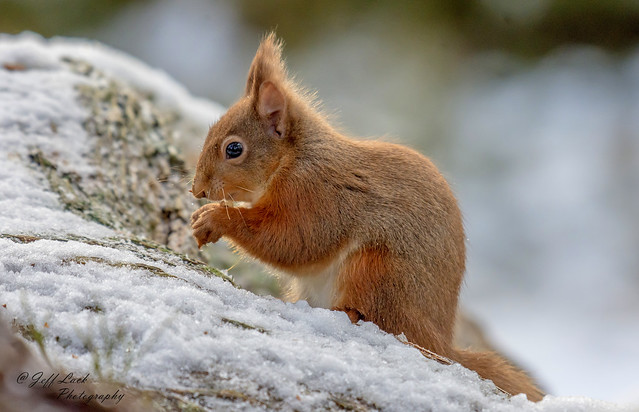 JWL4119  Red Squirrel..