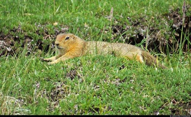 20180704_25 Ground squirrel stretching ^_^ by the Eielson Alpine Trail | Eielson Visitor Center in Denali National Park & Preserve, Alaska