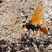 Orange Spider Wasp