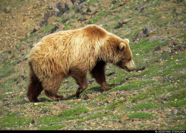 20180704_43 Mother grizzly bear (Ursus arctos horribilis) by the Eielson Alpine Trail | Eielson Visitor Center in Denali National Park & Preserve, Alaska