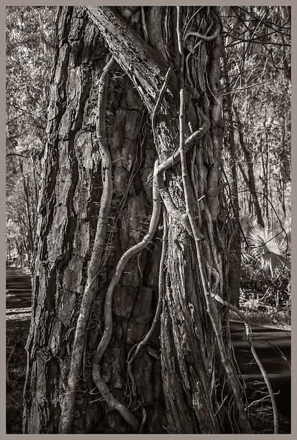 Lake Woodruff IR #3 2021; Pine with Vines