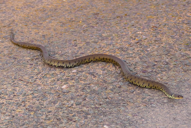 Barred Grass Snake