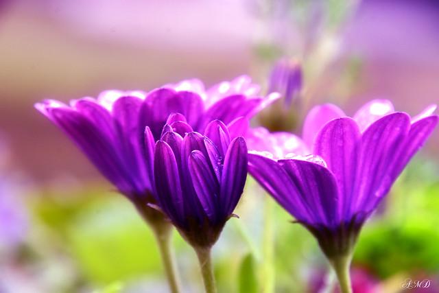 A little Purple