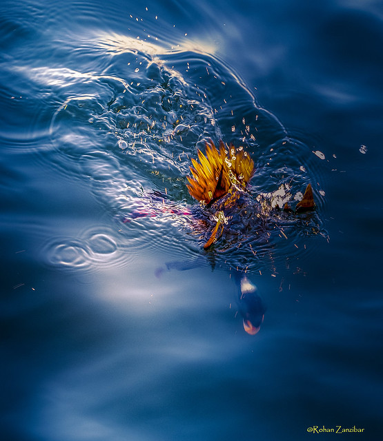 Flaming Duck Dives Under Water