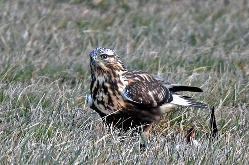 Rough-legged Hawk - Webster - © John Romero - Dec 29, 2020