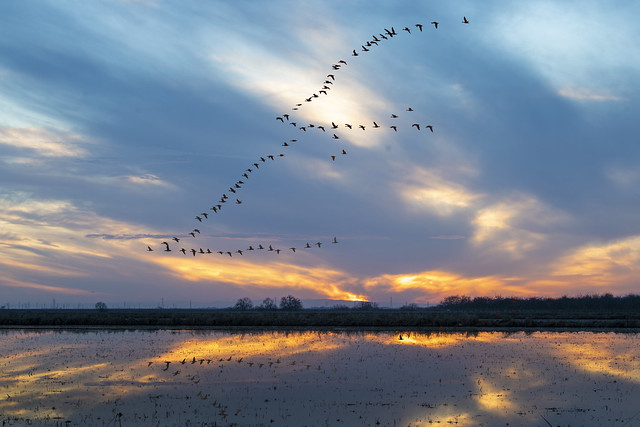 Geese flying to dinner...