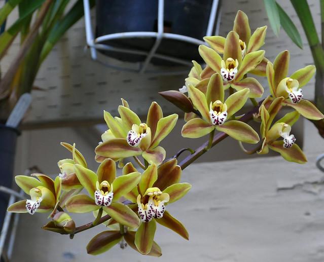Cymbidium Unknown [FM #8] hybrid orchid 1-21