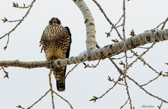Faucon pèlerin - Peregrine Falcon - Falco peregrinus
