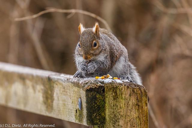 Eastern Gray Squirrel #4 - 2021-01-16
