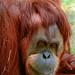 "<p><a href=""https://www.flickr.com/people/154721682@N04/"">Joseph Deems</a> posted a photo:</p>  <p><a href=""https://www.flickr.com/photos/154721682@N04/50866975962/"" title=""Orangutan""><img src=""https://live.staticflickr.com/65535/50866975962_ba77aebf97_m.jpg"" width=""161"" height=""240"" alt=""Orangutan"" /></a></p>  <p>Fort Worth Zoo</p>"